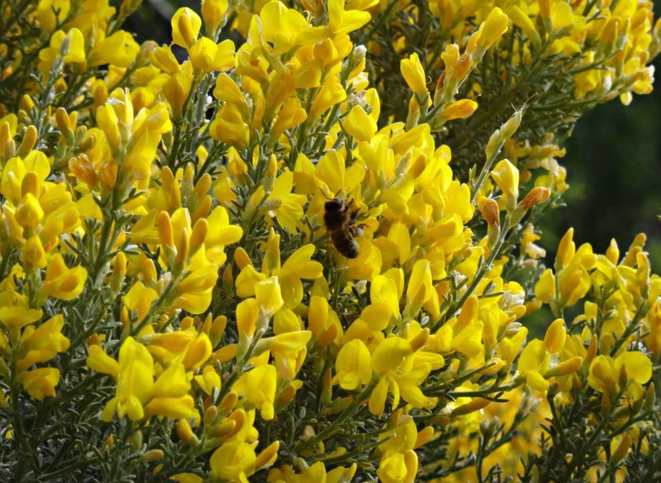Retama con abeja polinizando
