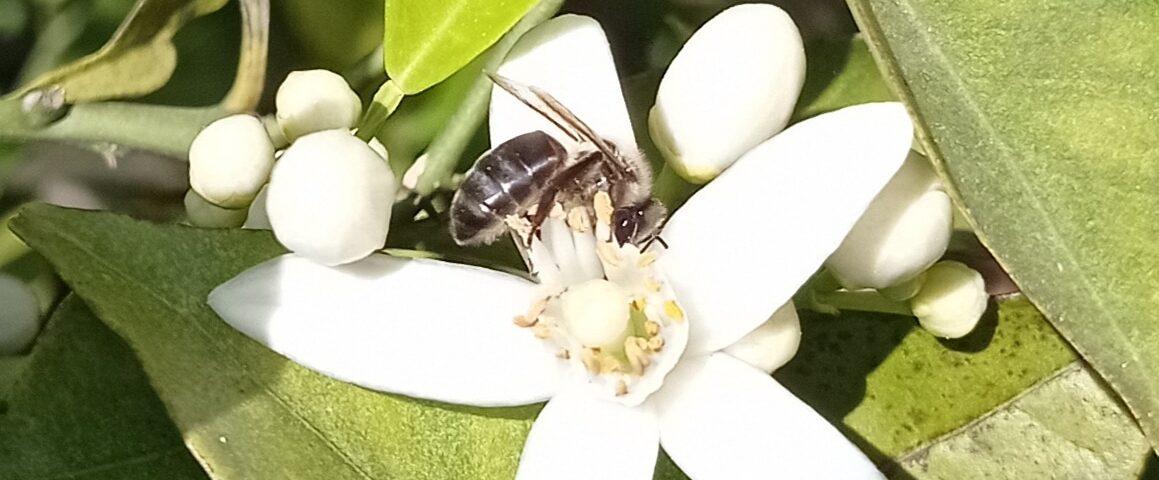 Flor de Azahar con Abeja libando